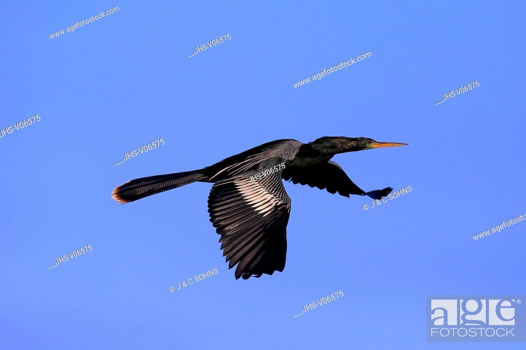 Stock Photo: Anhinga, (Anhinga anhinga), Wakodahatchee Wetlands, Delray Beach, Florida, USA, Northamerica, adult flying.
