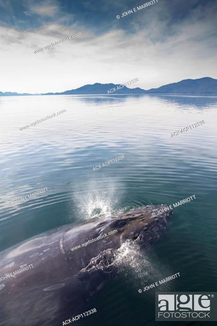Stock Photo: Humpback whale, Megaptera novaeangliae, British Columbia coast, Canada.