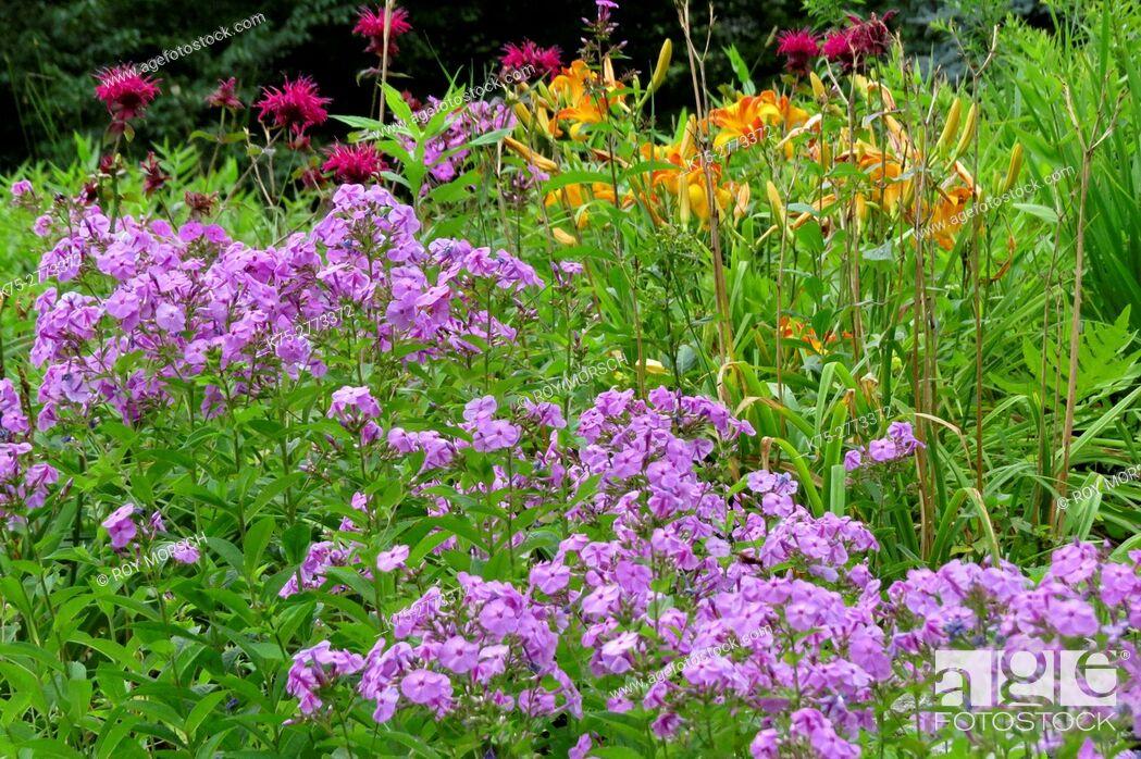 Imagen: Flowerbed of Purple phlox (Polemoniaceae), orange lilies (Liliaceae), magenta bee balm (Monarda didyma) at summer.