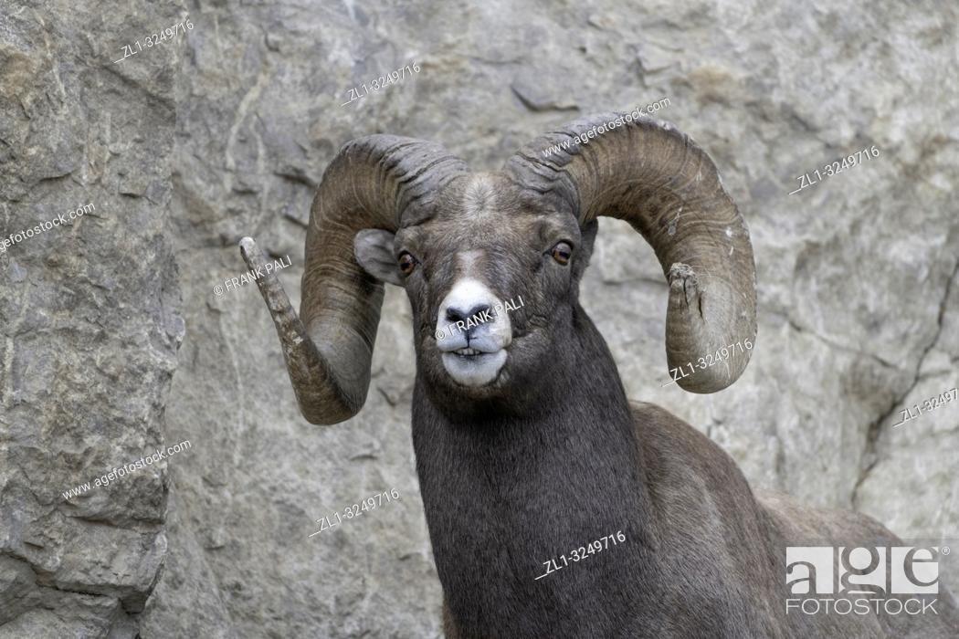 Stock Photo: Bighorn sheep in Yellowstone's Lamar Valley.