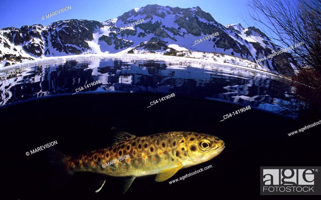 Stock Photo: River trout (Salmo trutta fario), Lake Lago del Valle, Lagos de Somiedo, Asturias, Spain.