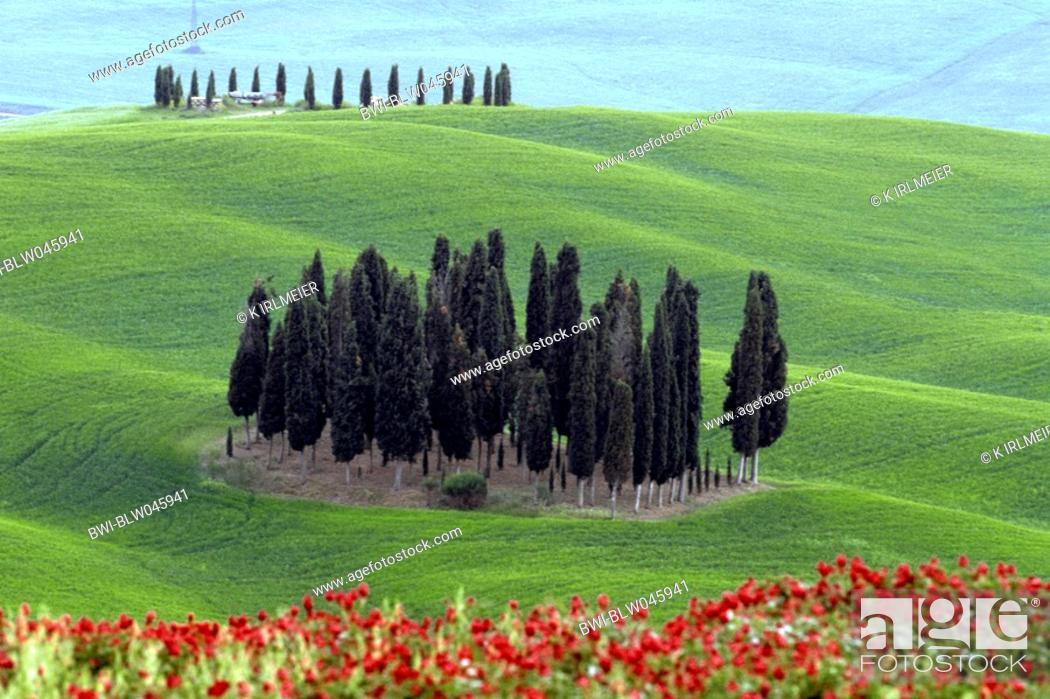 Stock Photo: Italian cypress Cupressus sempervirens, Clump of Cypresses, Italy, Tuscany.
