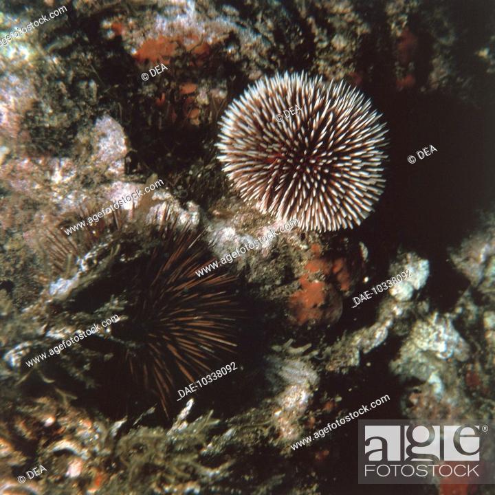 Stock Photo: Zoology - Echinoderms - Echinus.