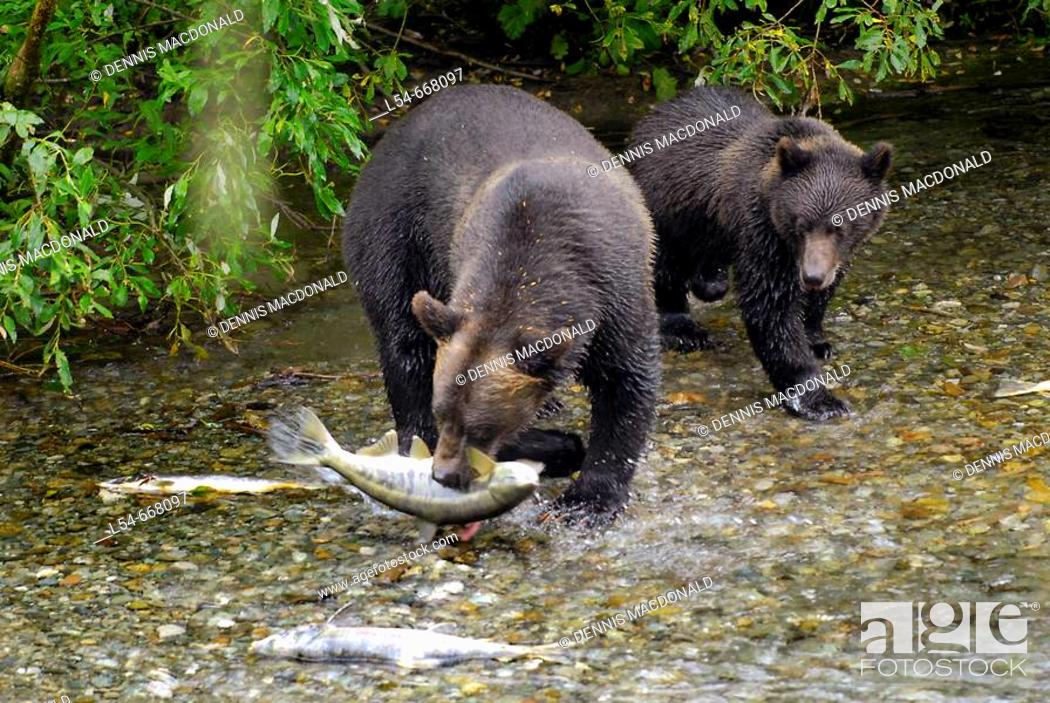 Stock Photo: Black Bear catching and eating Salmon at Fish Creek Wildlife Observation Site Tongass National Forest near Hyder Alaska AK US United States nature animals.