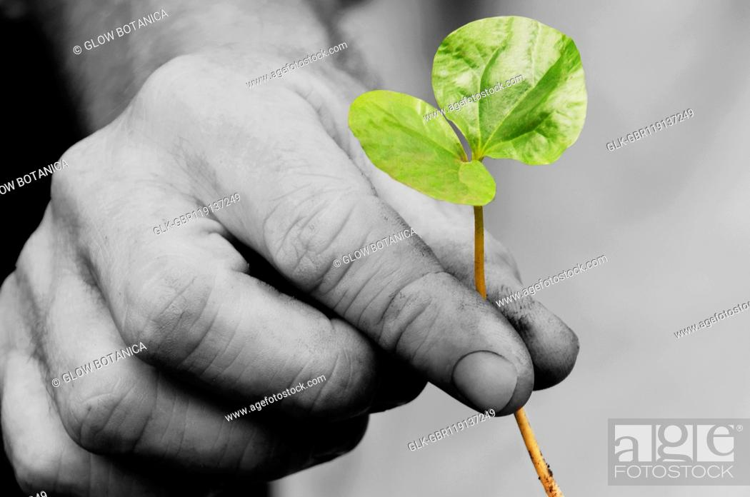 Stock Photo: Close-up of a person's hand holding a coffee seedling, Colombia.