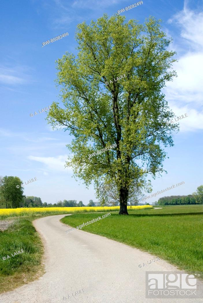 Stock Photo: white poplar (Populus alba), at the road, Germany, Baden-Wuerttemberg.