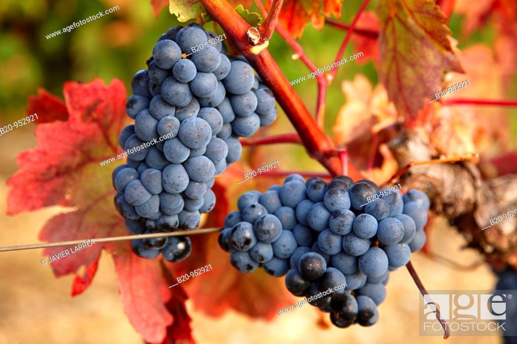 Stock Photo: Grenache grapes, vineyards, Laguardia, Rioja Alavesa, Araba, Basque Country, Spain.
