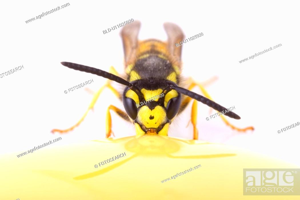 Stock Photo: honey, bee, eat, drink, close-up, alfred.