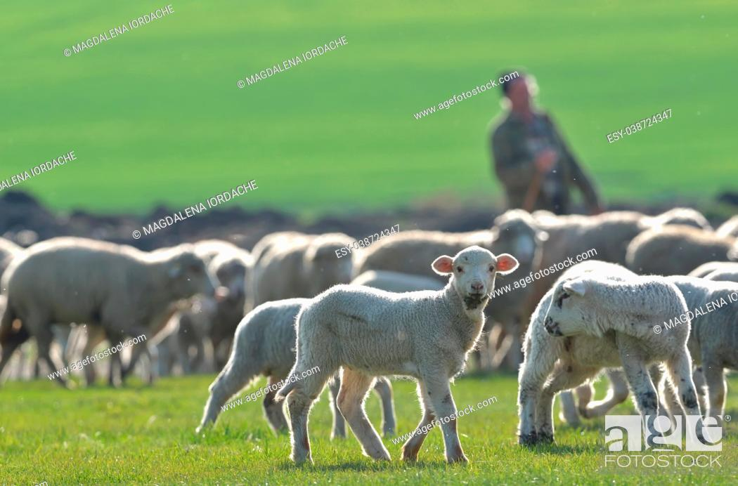 Stock Photo: Flock of sheep and lambs on field at sunset.
