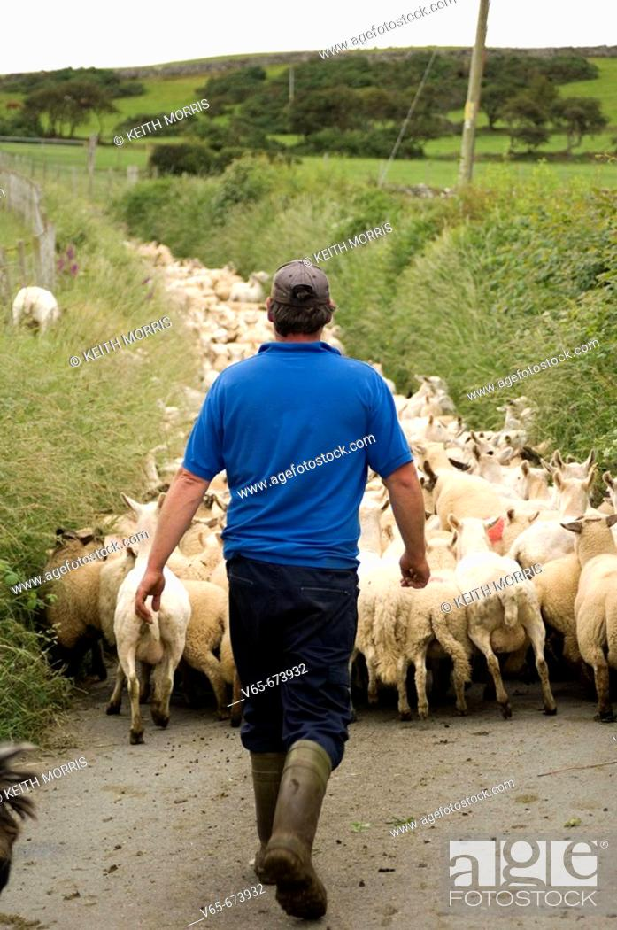 Stock Photo: Farmer driving his flock of 400 various breeds of shorn sheep and their unshorn lambs, near the village of  Rhosllefain near Tywyn, Gwynedd north Wales, UK.
