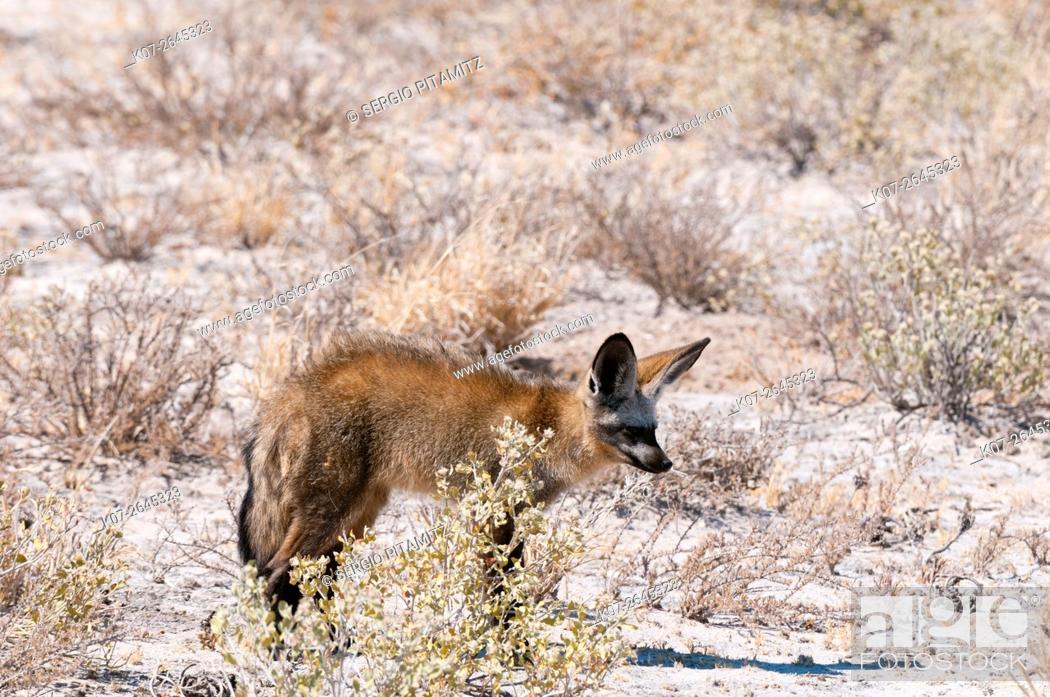 Stock Photo: Bat-eared foxes (Otocyon megalotis), Central Kalahari National Park, Botswana.