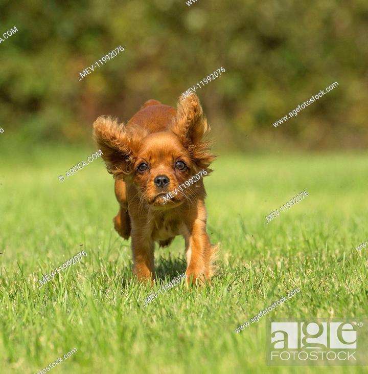 Stock Photo: Cavalier King Charles Spaniel puppy outdoors Cavalier King Charles Spaniel puppy outdoors.