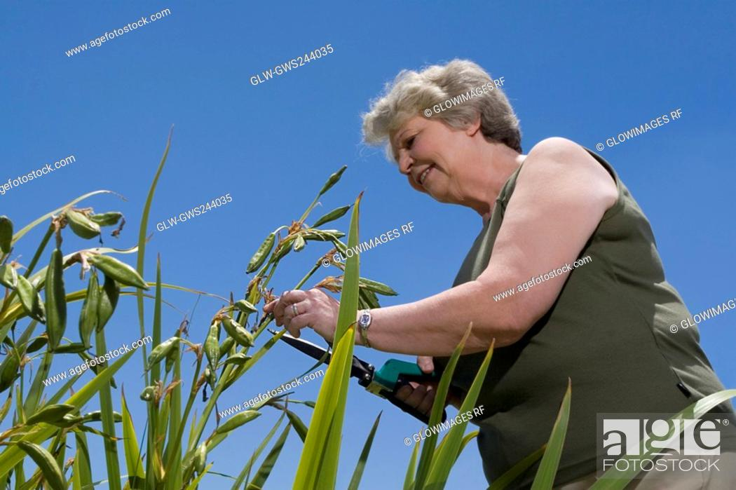Stock Photo: Low angle view of a senior woman cutting plants with hedge clippers.