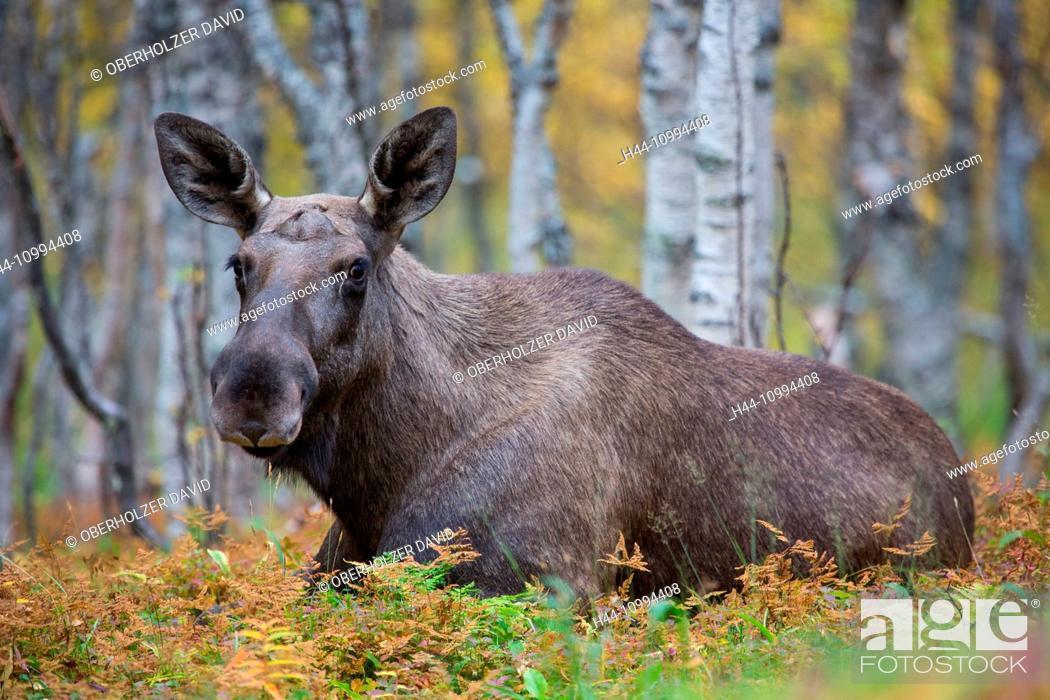 Stock Photo: Elk, Moose, Europe, autumn, autumn colors, Lapland, Norway, Scandinavia, mammals, animals,.