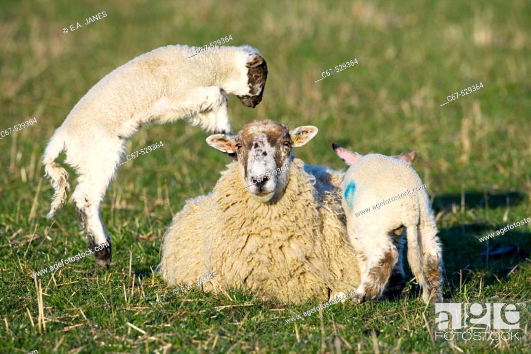 Stock Photo: Ewe Lamb Goosehill Farm Bucks UK.