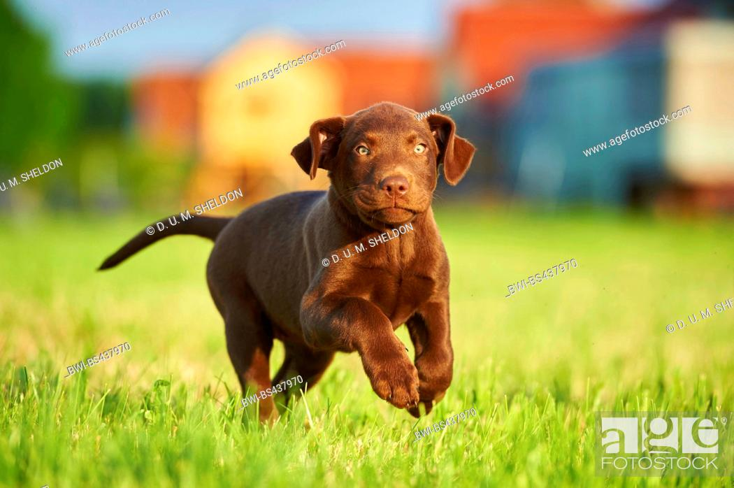 Stock Photo: Labrador Retriever (Canis lupus f. familiaris), brown whelp running across a meadow, Germany.