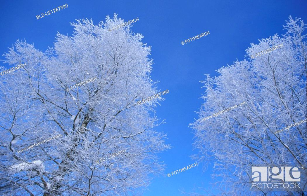 Stock Photo: Snowy trees.