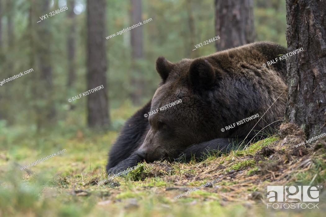 Stock Photo: Brown Bear / Braunbaer ( Ursus arctos ), young adult, lying, resting, sleeping over day in the undergrowth, shrubs of an autumnal boreal forest, Europe.