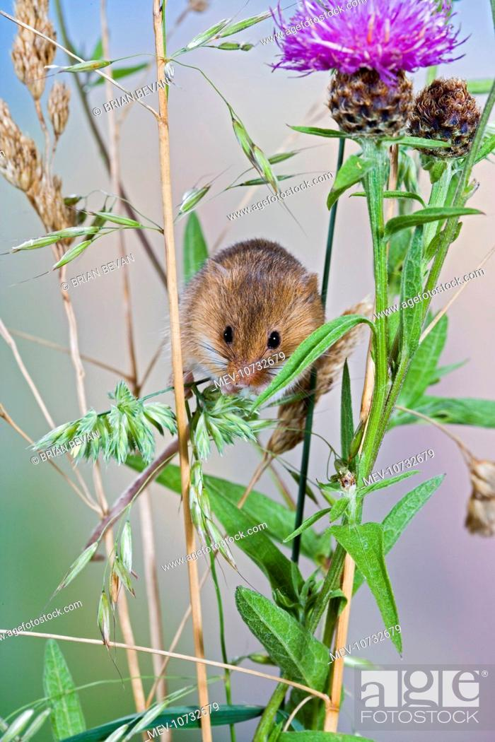 Stock Photo: Harvest mouse - in grasses (Micromys minutus).