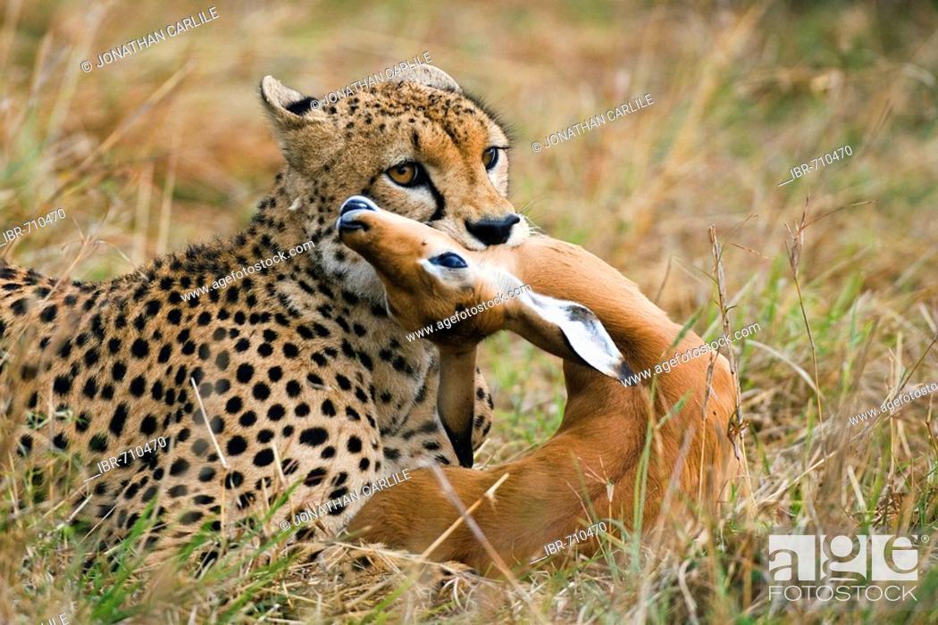 Imagen: Cheetah (Acinonyx jubatus), male, with impala in mouth, Masai Mara, Kenya, Africa.