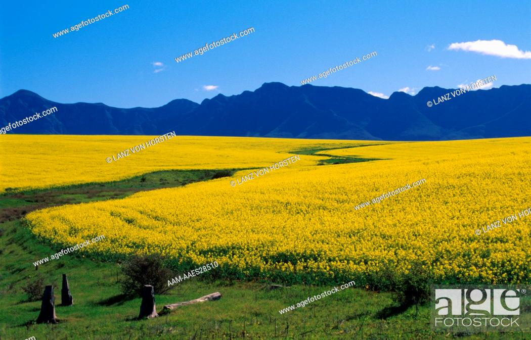 Stock Photo: Canola Fields in Bloom, non genetic Production, Cape, S. Africa.