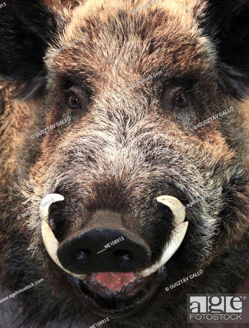 Stock Photo: wild pig tusks.