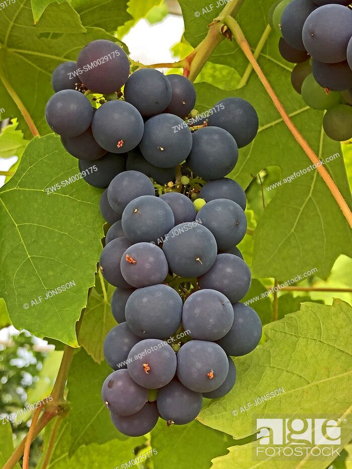 Stock Photo: Bunch with Schuyler grapes in Ystad, Scania, Sweden, Scandinavia.