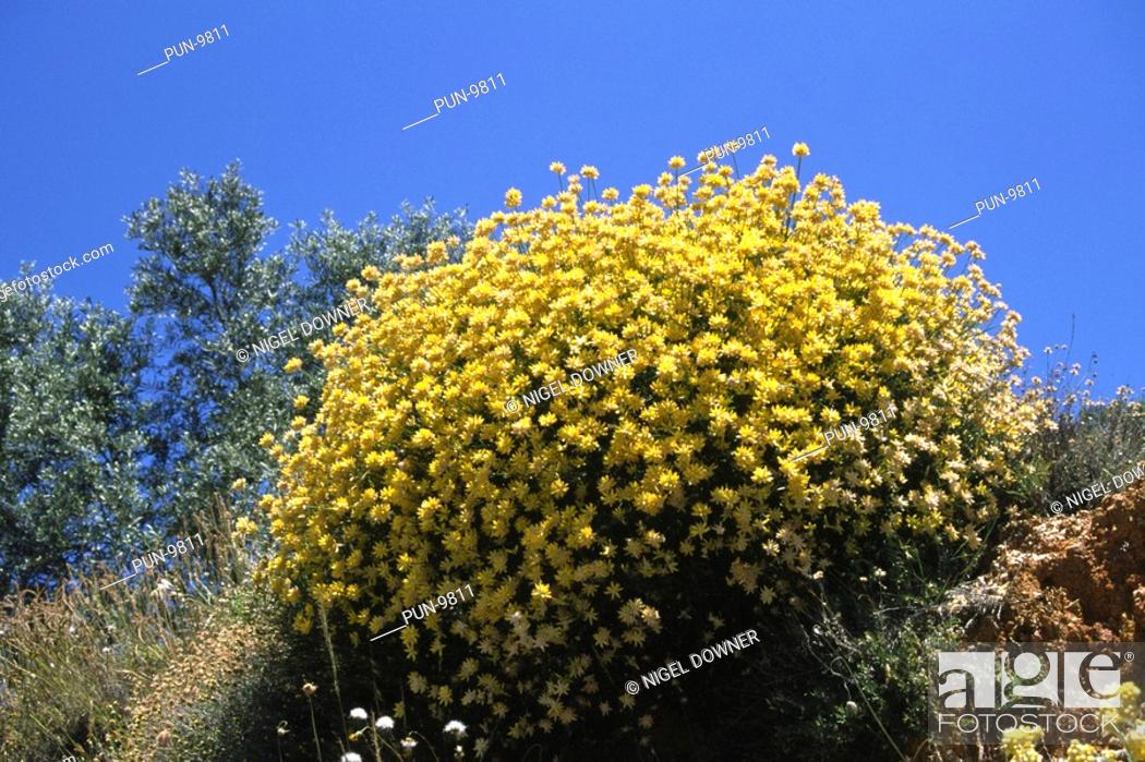 Stock Photo: A wide-angle view of a large group of Genista umbellata growing on a roadside bank in a mountainous region near Ronda, South-West Spain.