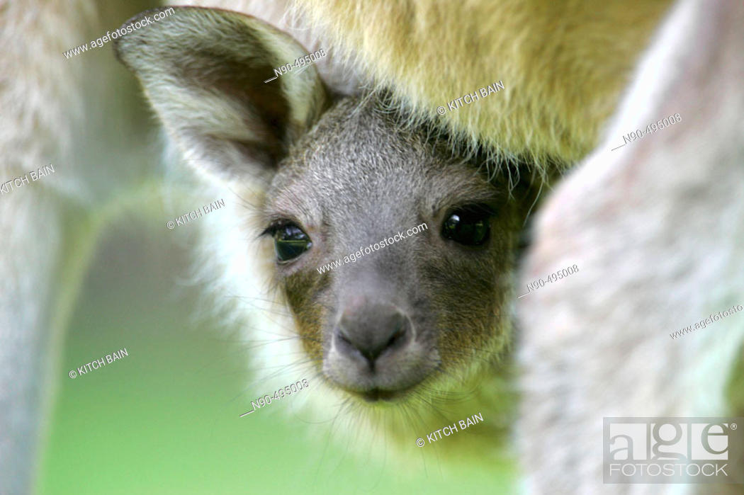 Stock Photo: Baby kangaroo in pouch.