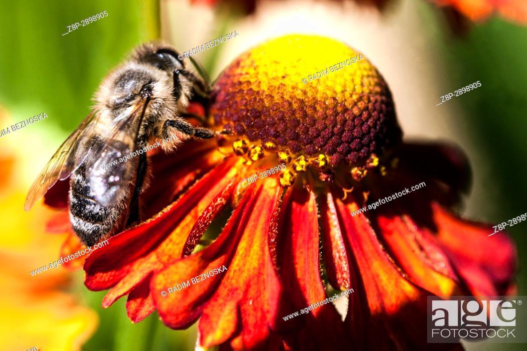 "Imagen: Honey bee on Helenium """"Flammenrad""""."