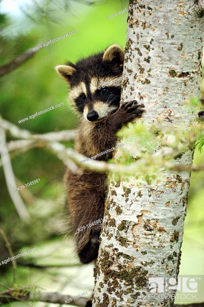 Stock Photo: Raccoon Procyon lotor baby- CS.
