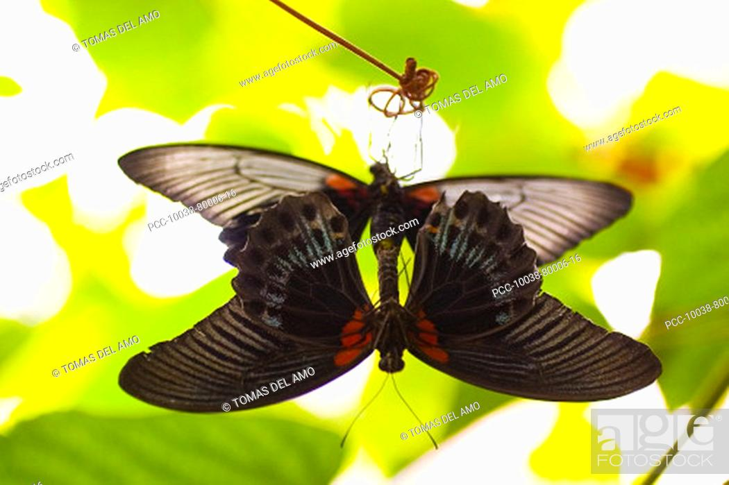 Stock Photo: Two beautiful black and red butterflies mating.