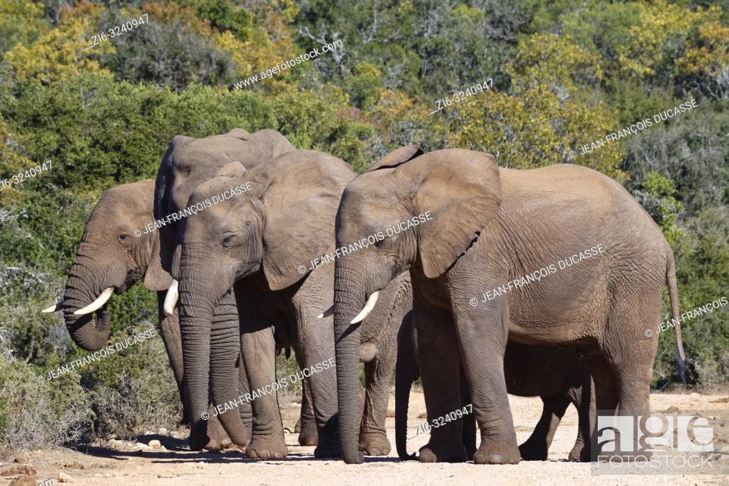 Stock Photo: African bush elephants (Loxodonta africana), herd with elephant baby, standing on a dirt road, Addo Elephant National Park, Eastern Cape, South Africa, Africa.