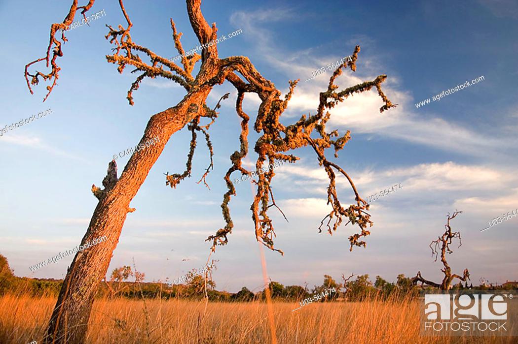 Stock Photo: Landscape with dead tree near Campos, Majorca, Balearic Islands. Spain.