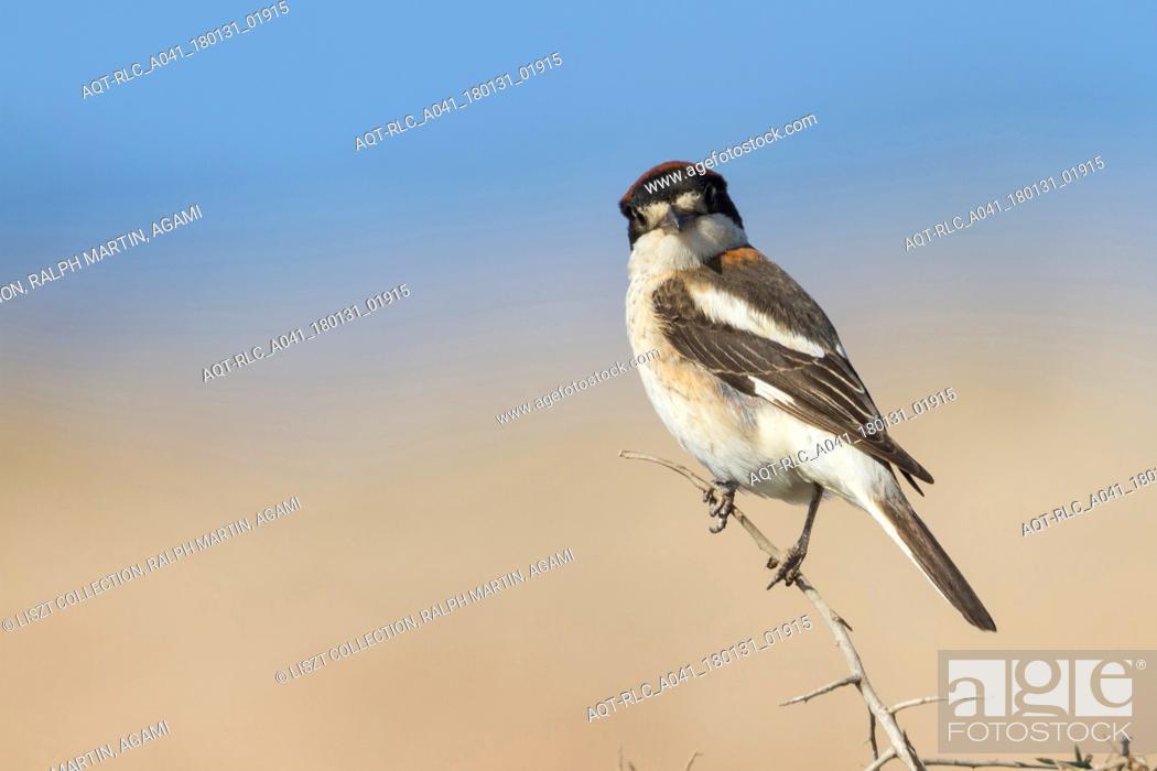 Stock Photo: Woodchat Shrike, Lanius senator, Cyprus, adult female.