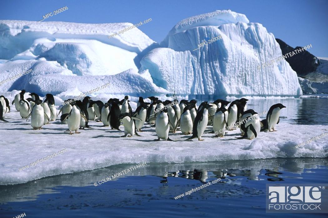 Stock Photo: Adelie Penguin Pygoscelis adeliae, group on icefloe in Hope Bay, Antarctic Peninsula, Antarctica.