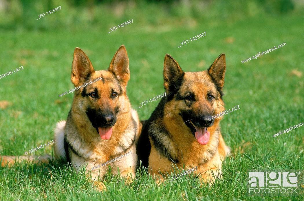 Stock Photo: GERMAN SHEPHERD DOG, ADULTS LAYING DOWN ON GRASS.