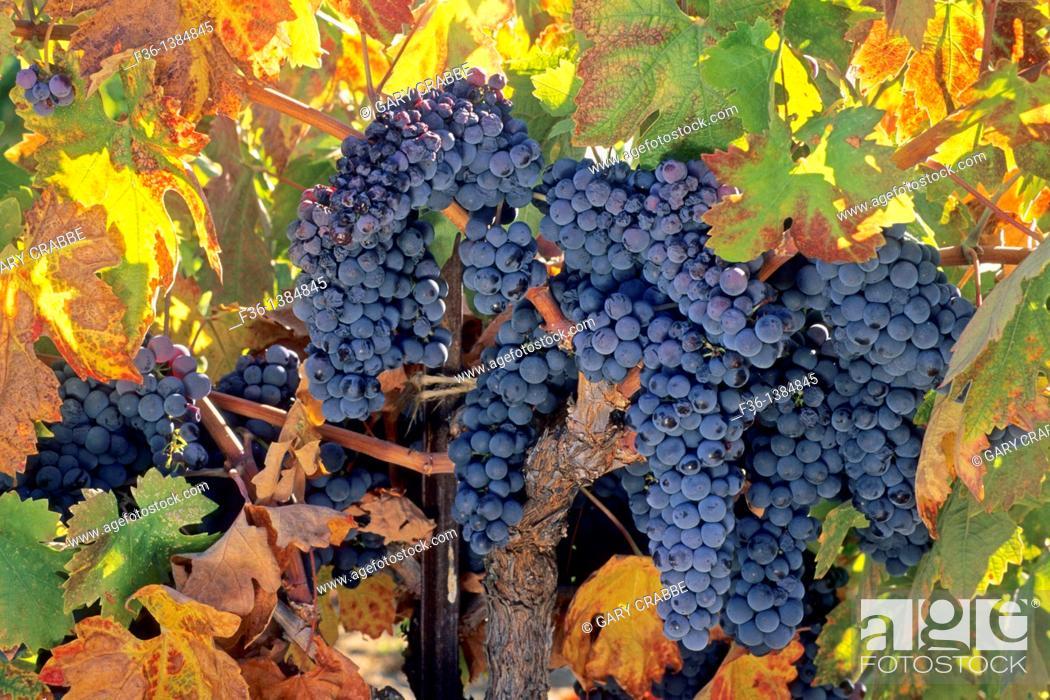 Stock Photo: Grapes on vine in fall, Villa Toscana Winery, near Plymouth, Shenandoah Valley, Amador County, California.
