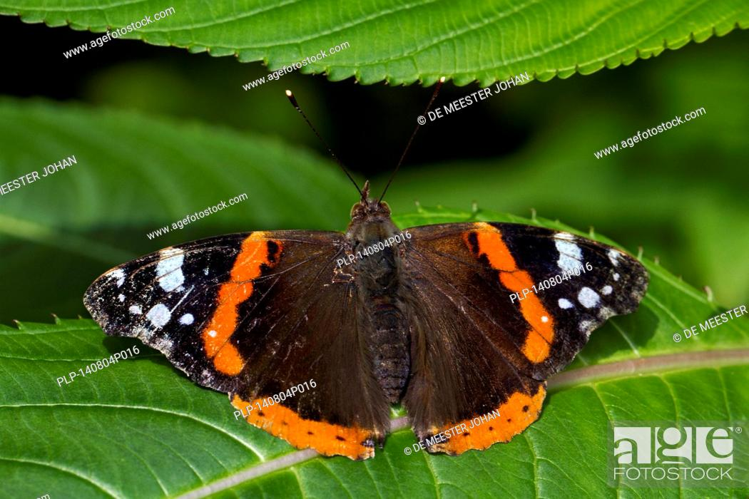 Stock Photo: Red Admiral (Vanessa atalanta) butterfly on leaf.