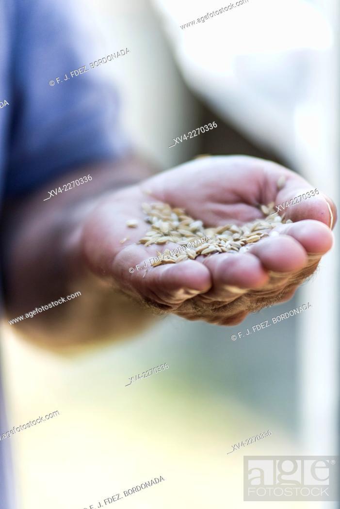 Stock Photo: Organic rice grain in Delta del Ebro Nature park, Tarragona, Catalonia, Spain.