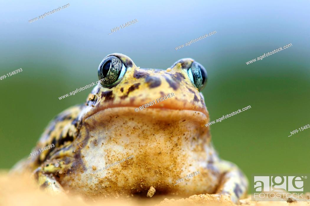 Stock Photo: Western spadefoot Pelobates cultripes, sitting in sandy ground, Extremadura, Spain.
