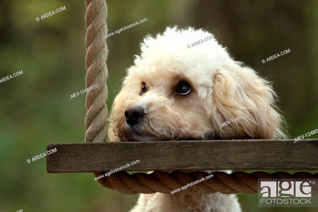 Stock Photo: DOG, Cavapoo resting its head on a garden swing seat.
