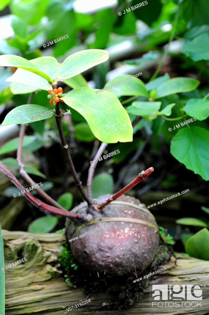 Imagen: Hydnophytm formicarum is an epiphyte shrub native to southeastern Asia. Its spherical caudex contains ants in symbiosis.