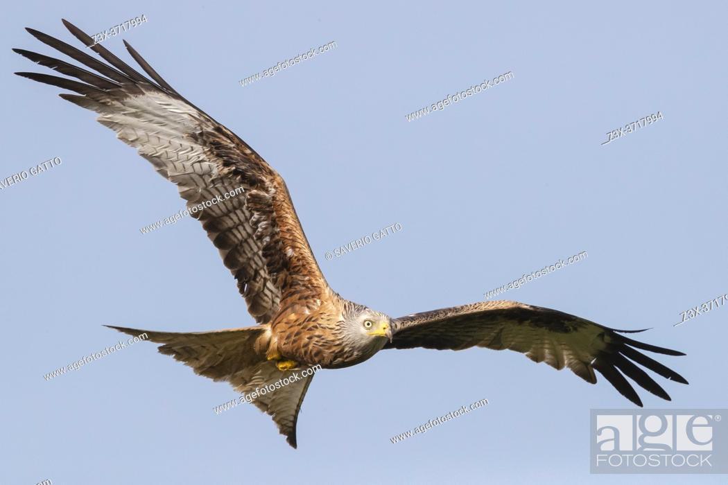 Stock Photo: Red Kite (Milvus milvus), adult in flight, Basilicata, Italy.