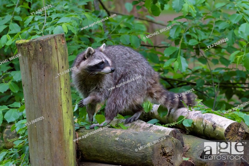 Stock Photo: Raccoon (Procyon lotor), Hesse, Germany, Europe.
