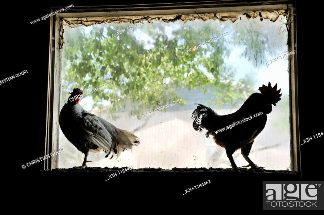 Stock Photo: hen and cock, Ferme 5 etoiles, Province of Quebec, Canada, North America.