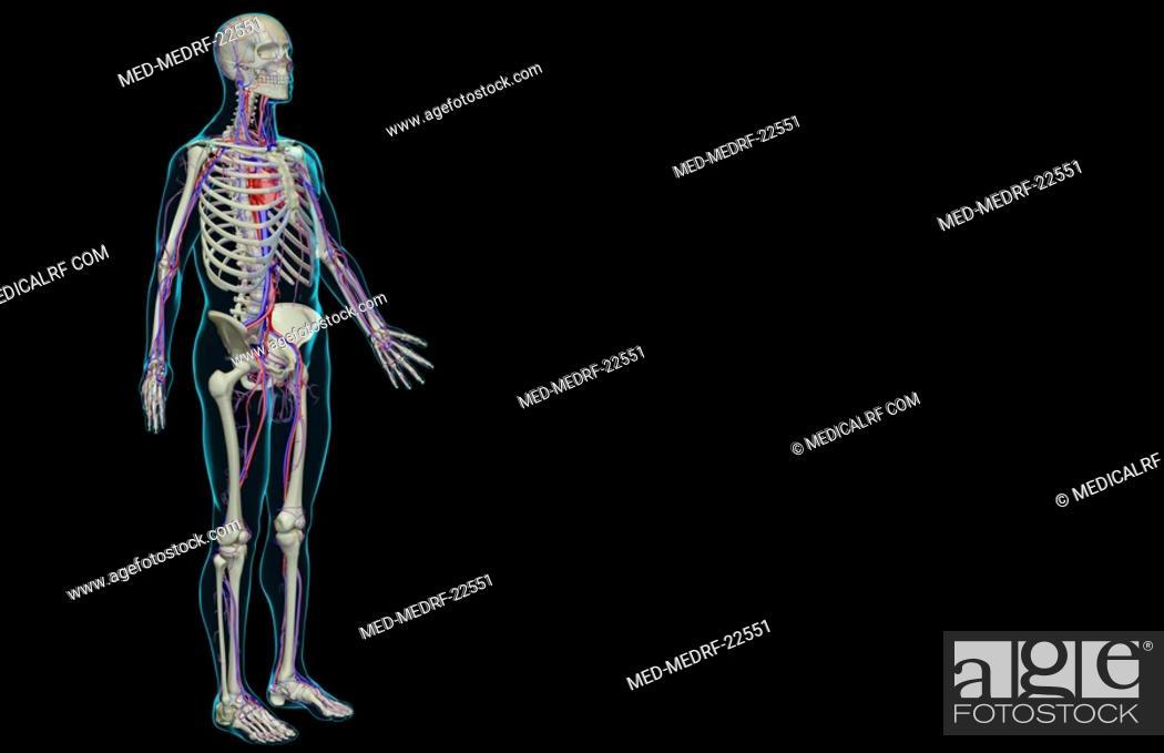 Stock Photo: The vascular system.