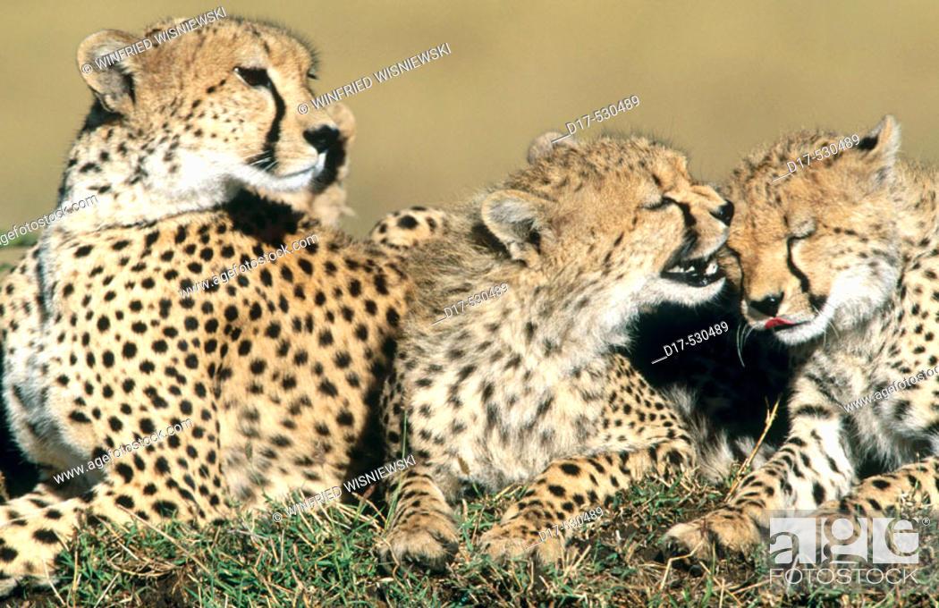 Stock Photo: Cheetah (Acynonix jubatus) with two cubs. Masai Mara Natural Reserve. Kenya.