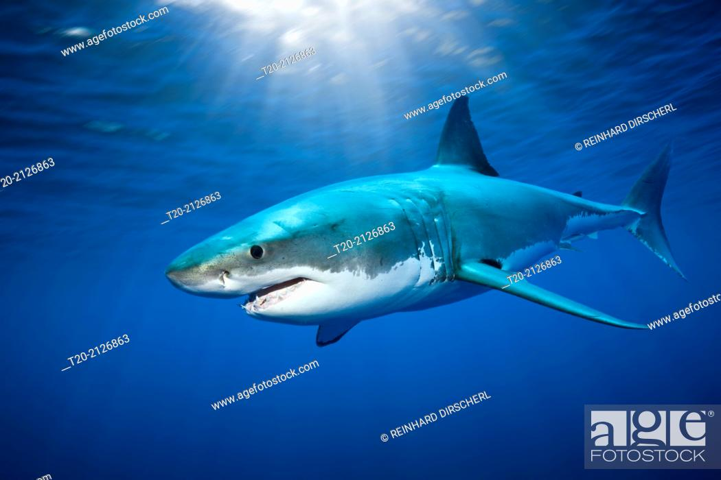 Imagen: Great White Shark, Carcharodon carcharias, Guadalupe Island, Mexico.