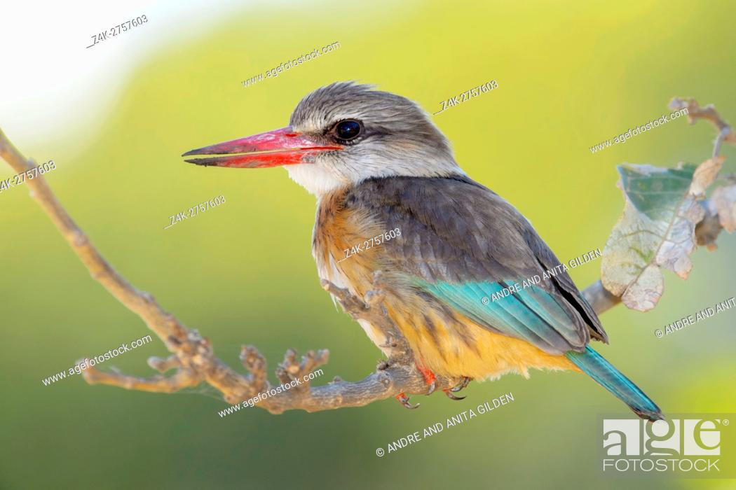 Imagen: Brown-hooded kingfisher (Halcyon albiventris) on a twig, Kruger National Park, South Africa, Africa.